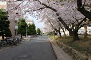 工学部構内の桜